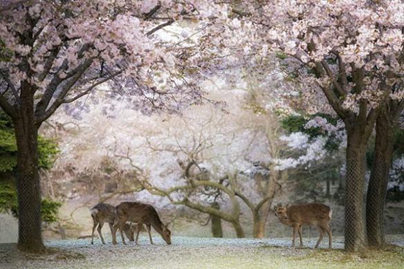 toile déco original biches et cerisiers