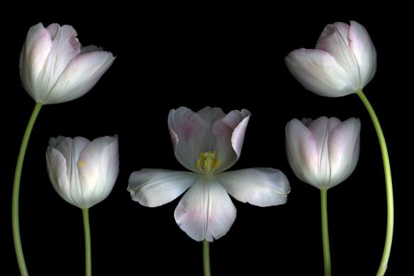 tapisserie chambre Tulipes