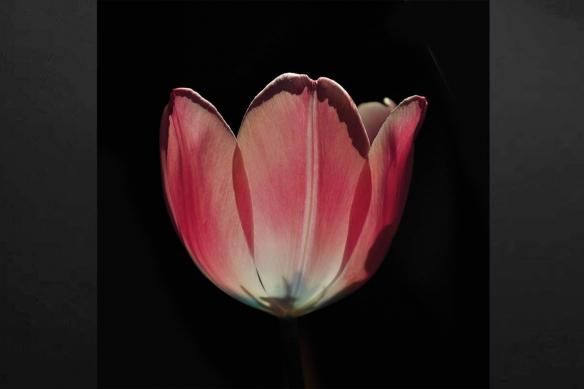 Toile déco Tulipe Rose