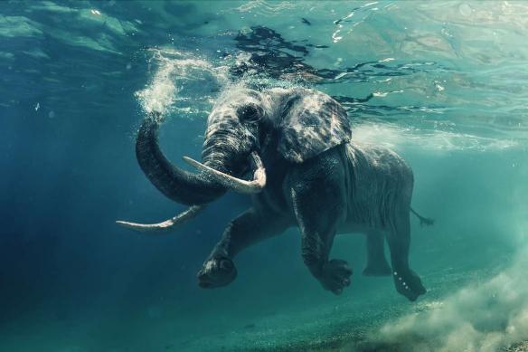 Toile design éléphant marin