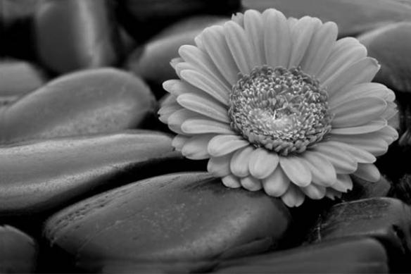 Tableau noir et blanc fleur