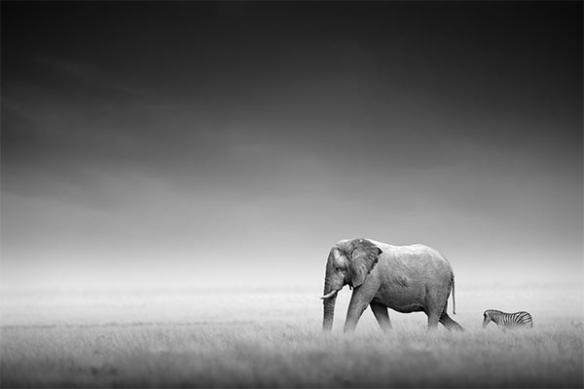 Tableau noir blanc elephant zebre