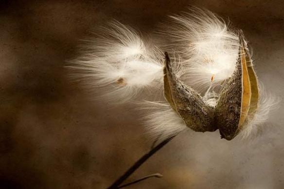 Laiteron en fleur