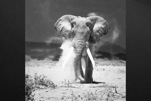 charge elephant Pachyderme