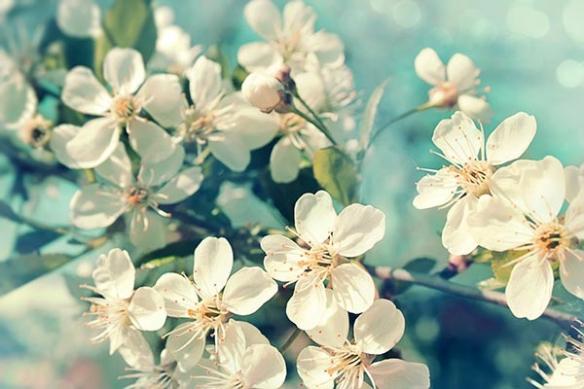 Fleurs cerisier au Printemps poster mural