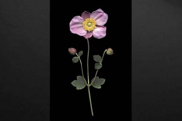 Anémone Japonaise déco design fleur