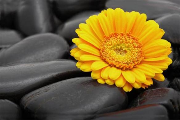 Papier Peint fleur Marguerite jaune