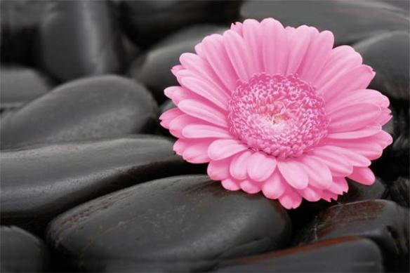 Papier Peint trompe oeil Marguerite rose