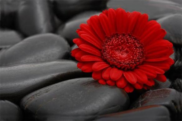 Marguerite rouge papier peint déco mural