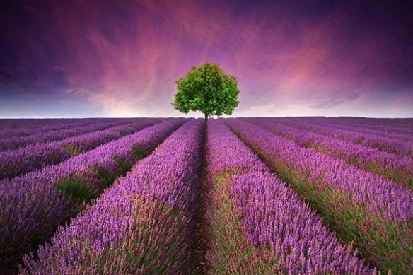 Champ de Lavandes et arbre ciel violet papier peint tropme oeil