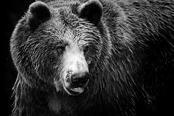 Tableau noir et blanc ours izoa - Tableau noir et blanc design ...