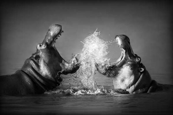 Poster mural XXL Hippopotames