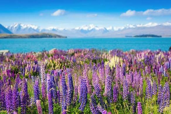 Tableau fleur lavande en montagne
