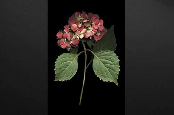 Tableau déco Fleur Hortensia