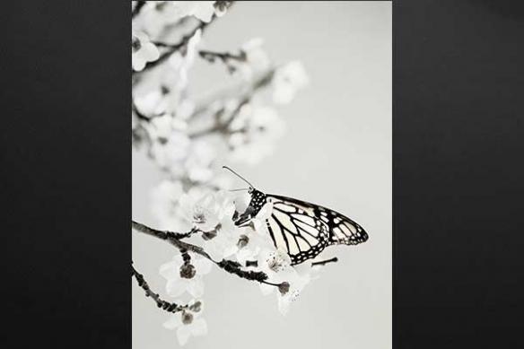 Tableau mural papillon cerisier
