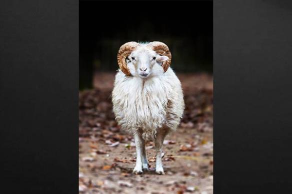 Tableau Bélier mouton