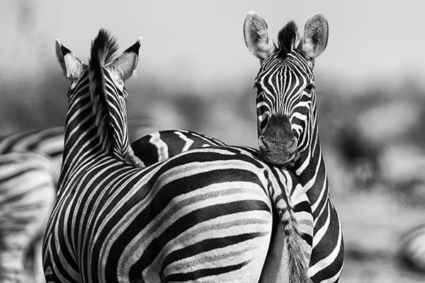 Tableau d co z bres de namibie izoa for Deco zebre