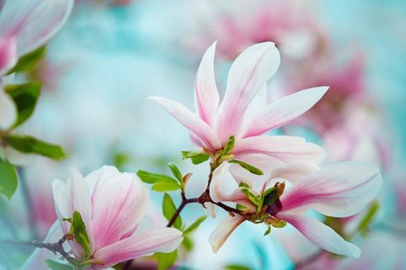 Toile imprimée Magnolia en fleur