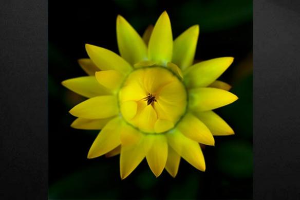 fleur Gazania