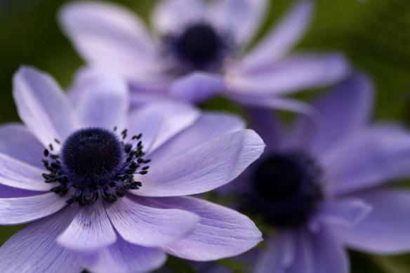 Papier peint photo Fleurs Champêtres violettes