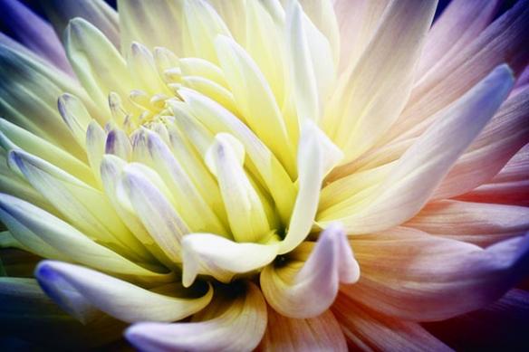 poster geant fleur macro jaune violette