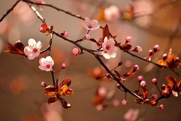 Poster mural deco chambre Fleurs de cerisiers