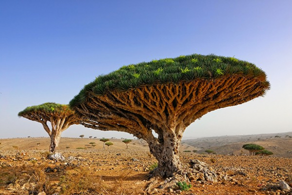 Savane arbre millenaire