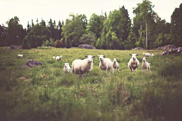Moutons prairie montagne