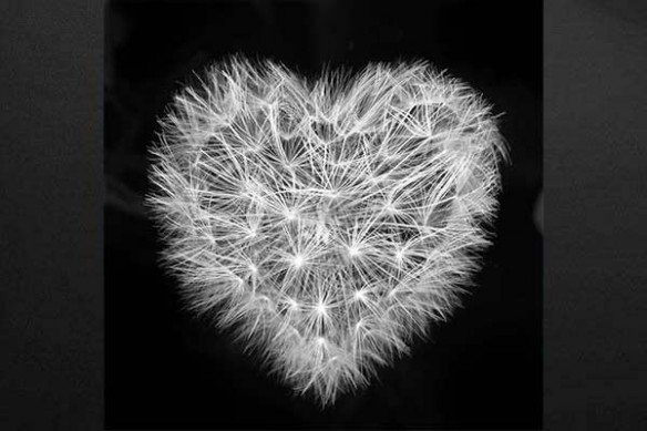 pissenlit coeur