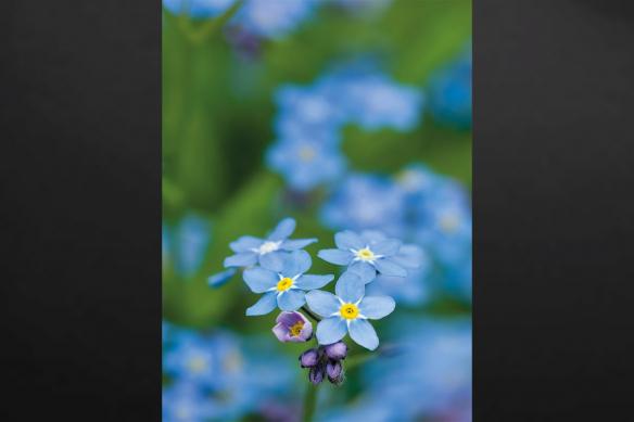 Fleur Bleue macro