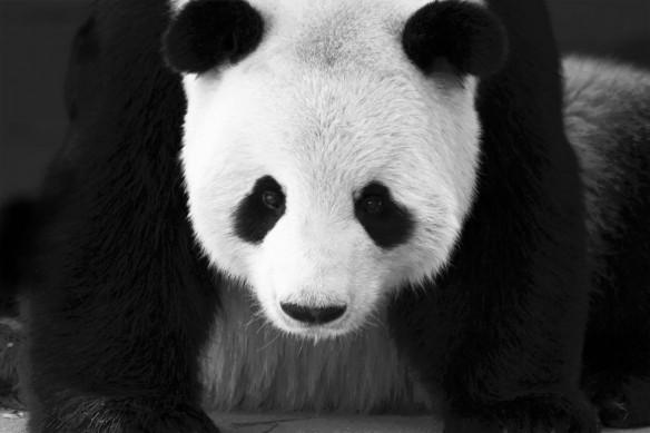 poster mural noir et blanc Panda
