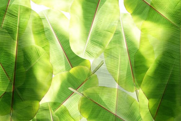 Poster mural tropical Bananier