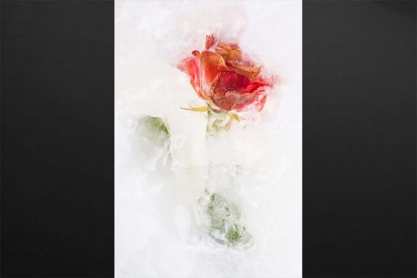 impression sur toile Rose givrée