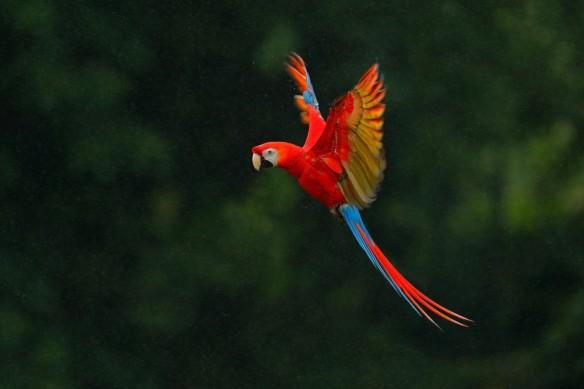 Cadre tableau perroquet rouge