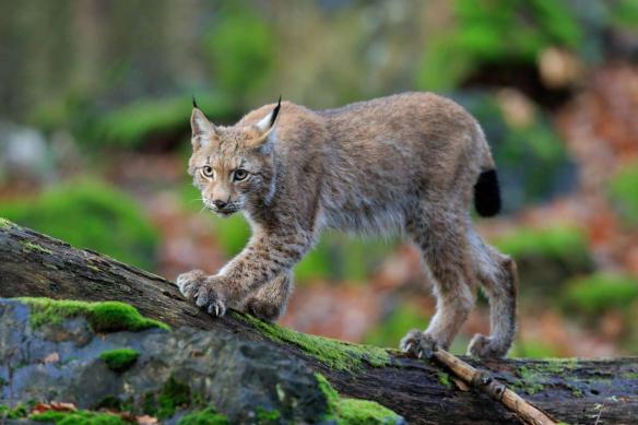 tableau animaux lynx