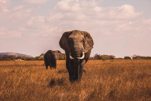 Toile éléphant dans la savane