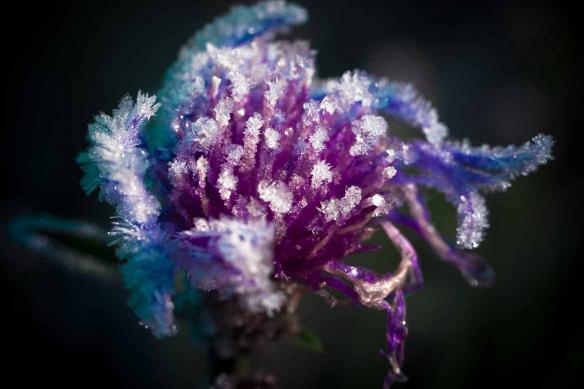 Tableau fleur Pétales glacées