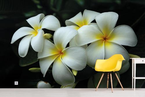 Papier peint fleur blanche grosse frangipane