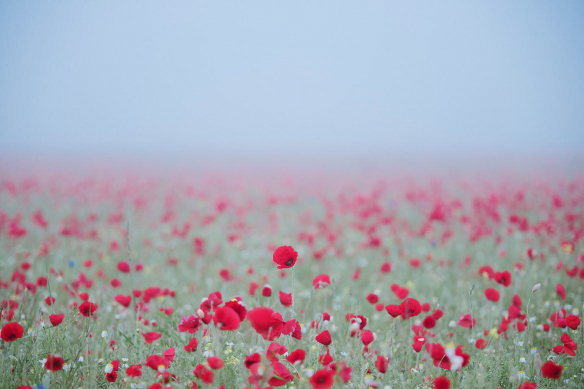 toile coquelicots champetres