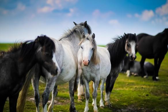 papier peint cheval photo cheval blanc et noir