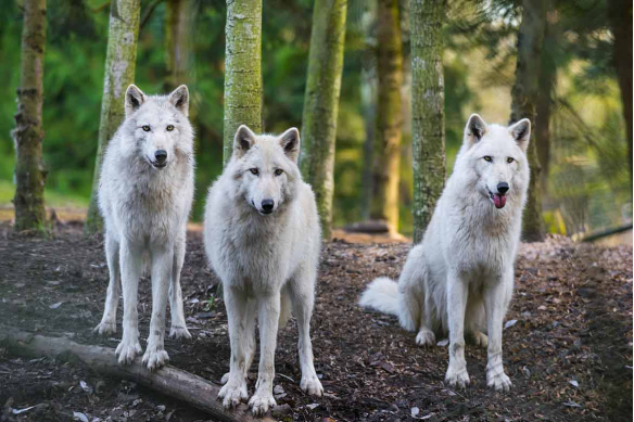 tapisserie-foret-animaux-loups blancs