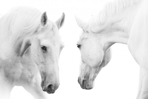 Papier peint haut de gamme Chevaux-blancs