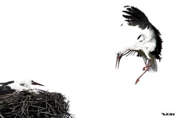 Cigogne nid