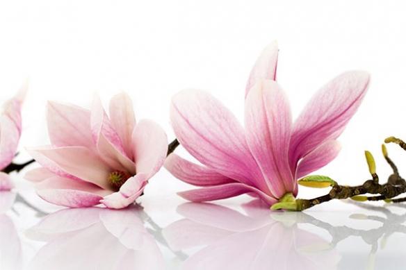 Tableau fleur Magnolia décoration murale