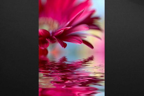 Tableau Fleur Gerbera Izoa
