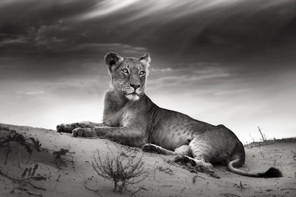 Lionne savane