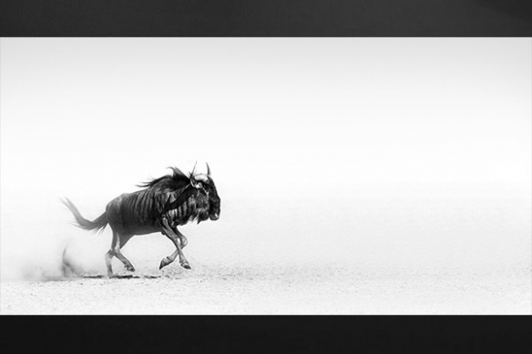 Gnou tableau déco noir blanc