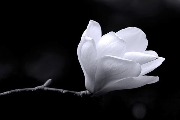 tableau fleur magnolia noir et blanc izoa. Black Bedroom Furniture Sets. Home Design Ideas