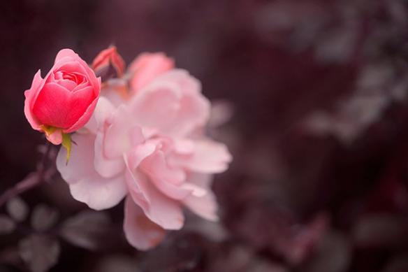 Tableau grand format fleur Perle de Rose