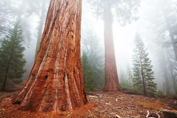 forêt séquoia brouillard
